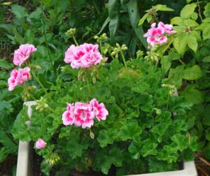 Sara's geranium